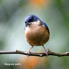 Picaflor canela - Rusty Flowerpiercer ♂