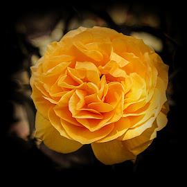 Rose - King of the Flowers   by Krishna Murukutla - Flowers Single Flower ( rose, damascus, flower, closeup, portrait,  )