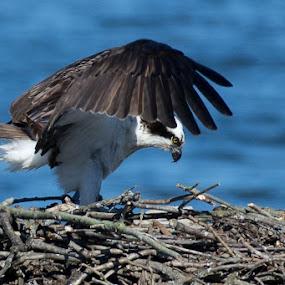 Osprey by Susan Hughes - Animals Birds ( osprey )