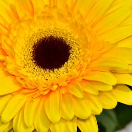 veri nice yellow gerber by LADOCKi Elvira - Flowers Single Flower ( floral, nature, plants, garden, flower )