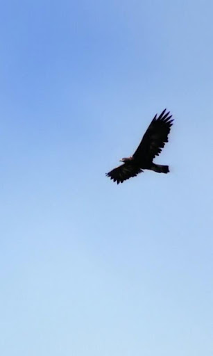 Mountain eagle on wing