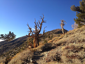 Photo: Old friends, the amazing Bristlecone Pines