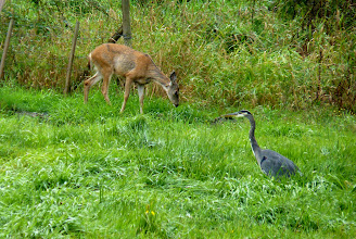 Photo: A Black- tailed deer doe and Great Blue Heron