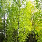 Warty Birch