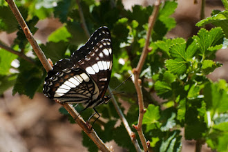 Photo: Butterfly on viburnum bush 06/08