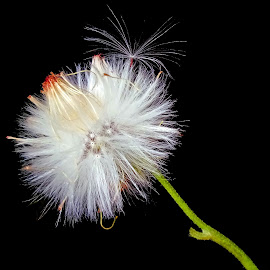 White wild  by Asif Bora - Nature Up Close Other Natural Objects