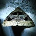 Tirangular Noctuid Moth