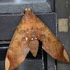 Fig Sphinx Moth