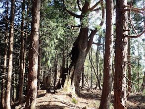 鞍部には巨木が残る