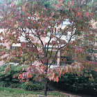 Sweetwater Red Flowering Dogwood