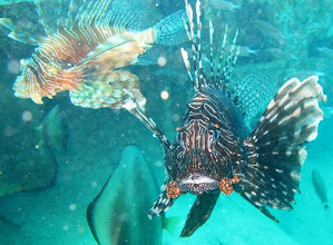 Photo: Huge old Lionfish (Pterois Volans) and wife (poisonous)