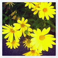 Photo: Beautiful yellow summer flowers #intercer #flower #flowers #yellow #petal #petals #beautiful #pretty #life #garden #green - via Instagram, http://ift.tt/1pVa7VN