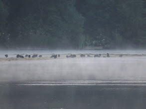 Photo: 26 Jul 13 Priorslee Lake: Birds are very adaptable: the Coots have already found that the floating weed is a safe roost (while mist rises over the water). (Ed Wilson)