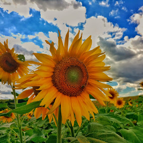 sunflowers by Dražen Pintar - Instagram & Mobile Android ( grr, mobilography, sky, green, sunflowers, yellow,  )