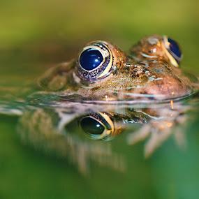 Frog's eyes by Gérard CHATENET - Animals Amphibians (  )