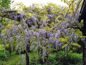 Photo: Naturgarten Düsseldorf Lohausen, Glycinie