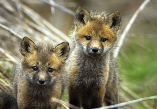 Fox pups in protected wetlands in Atlantic Canada.