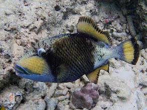 Photo: Balistoides viridescens (Titan Triggerfish), Entatula Island Beach Club reef, Palawan, Philippines.