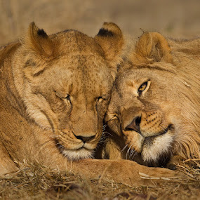 Together is better by Francois Retief - Animals Lions, Tigers & Big Cats
