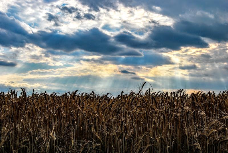 Sprazzi di sole sul campo di grano di rosy_greggio