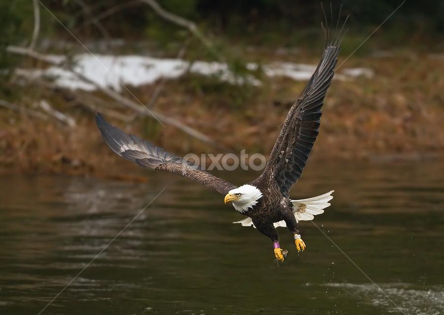 by Herb Houghton - Animals Birds ( eagle, bird of prey, bald eagle, raptor )
