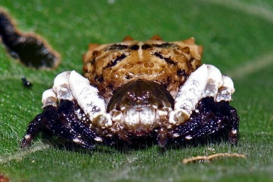 E:\Shit mimic pog blost\Bird-dung-crab-spider flickr Vijay Anand Ismavel.jpg