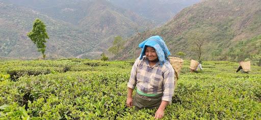 Darjeeling tea goes organic