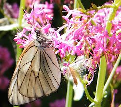 """Photo: Le """"Gazé"""" ( Aporia crategi ) sur fleur de centranthe rouge . Un papillon décimé par les traitements insecticides. Jadis nombreux, ils sont de nos jours en très mauvaise posture. Au premier coup d'oeil on le reconnait aux nervures de ses ailes bien marquées."""