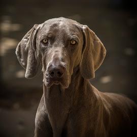 Weimaraner Dog by Egon Zitter - Animals - Dogs Portraits ( loyal, breed, pedigree, species, weimaraner dog, friend, mammal )
