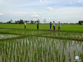 Photo: Comparision between SRI  and Farmer practice , FPAR (Tron , Uttaradit)