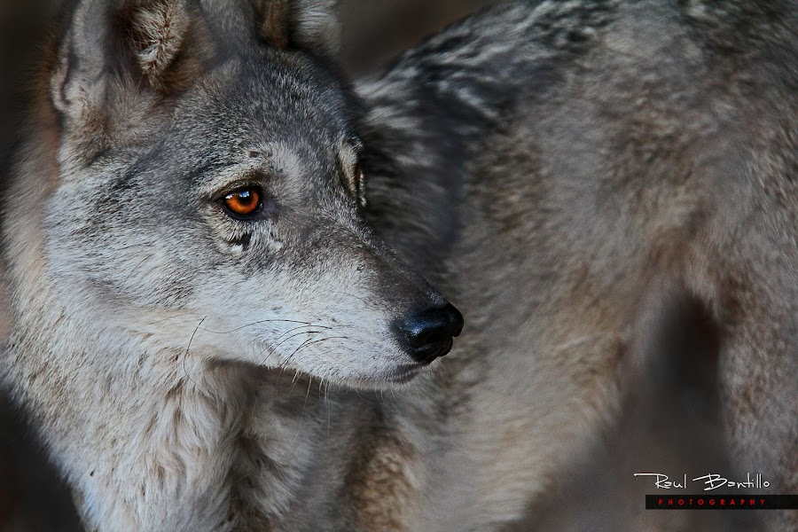 Desert Fox by Raul Bantillo - Animals Other ( animals, fox, desert fox by raul bantillo, desert fox )