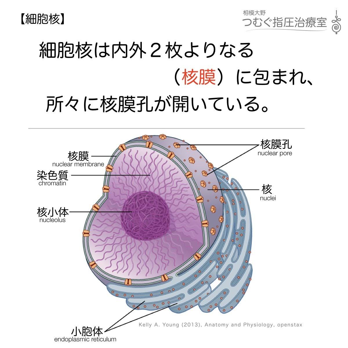 細胞核は内外2枚よりなる細胞核につつまれ、所々に核膜孔が開いている