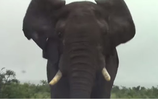 WATCH | 'Lucky to survive' - Enormous elephant charges car in Kruger Park