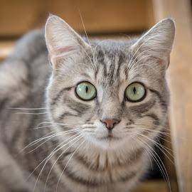 Look into my eyes! by Nistorescu Alexandru - Animals - Cats Portraits ( #eyes, #bokelicious, #greeen, #closeup, #cat,  )