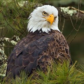 by Herb Houghton - Animals Birds ( conifer, wild, eagle, bird of prey, bald eagle, raptor, herbhoughton.com, delaware river )
