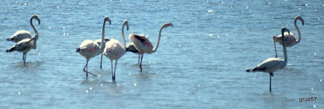 Photo: Розовый фламинго, Greater Flamingo, (Phoenicopterus roseus). Миссолонги