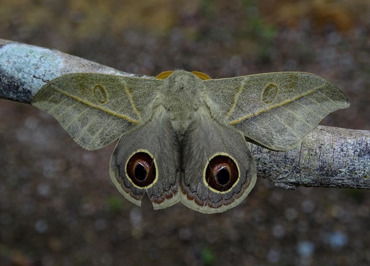 Leucanella memusae