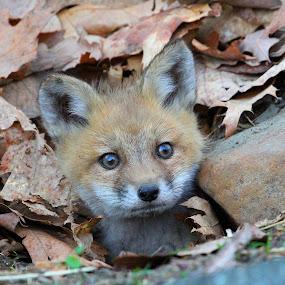 Fox Kit by Ken Keener - Animals Other Mammals ( fox, fox kit, fox baby, foxes, baby fox )