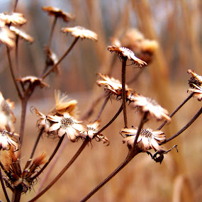 Beauty even in death by Cindy Swinehart - Nature Up Close Flowers - 2011-2013 ( orange, fall, brown, flowers, dead )