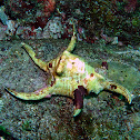 Chiragra spider conch