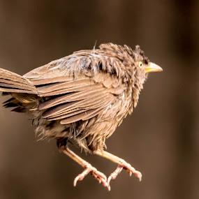 jumping bird by Abhisek Datta - Animals Birds ( bird, rainy day, jumping, jumping bird )