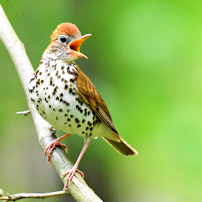Wood Thrush by Ruth Overmyer - Animals Birds (  )