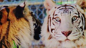 Tiger Emergency thumbnail