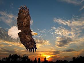Photo: Bald Eagle Sunset