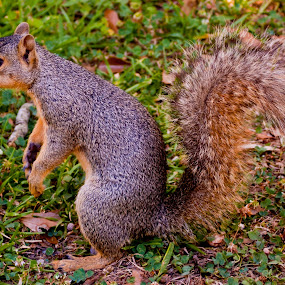 Squirrel by Joshua Meyer - Novices Only Wildlife ( squirrel )