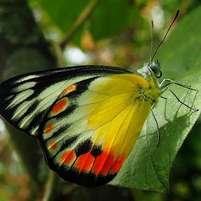 Delias decombesi Butterfly by Dedi Sukardi - Animals Insects & Spiders ( perched, butterfly, macro, animals )
