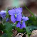 Wild Violet (Blue-violet)