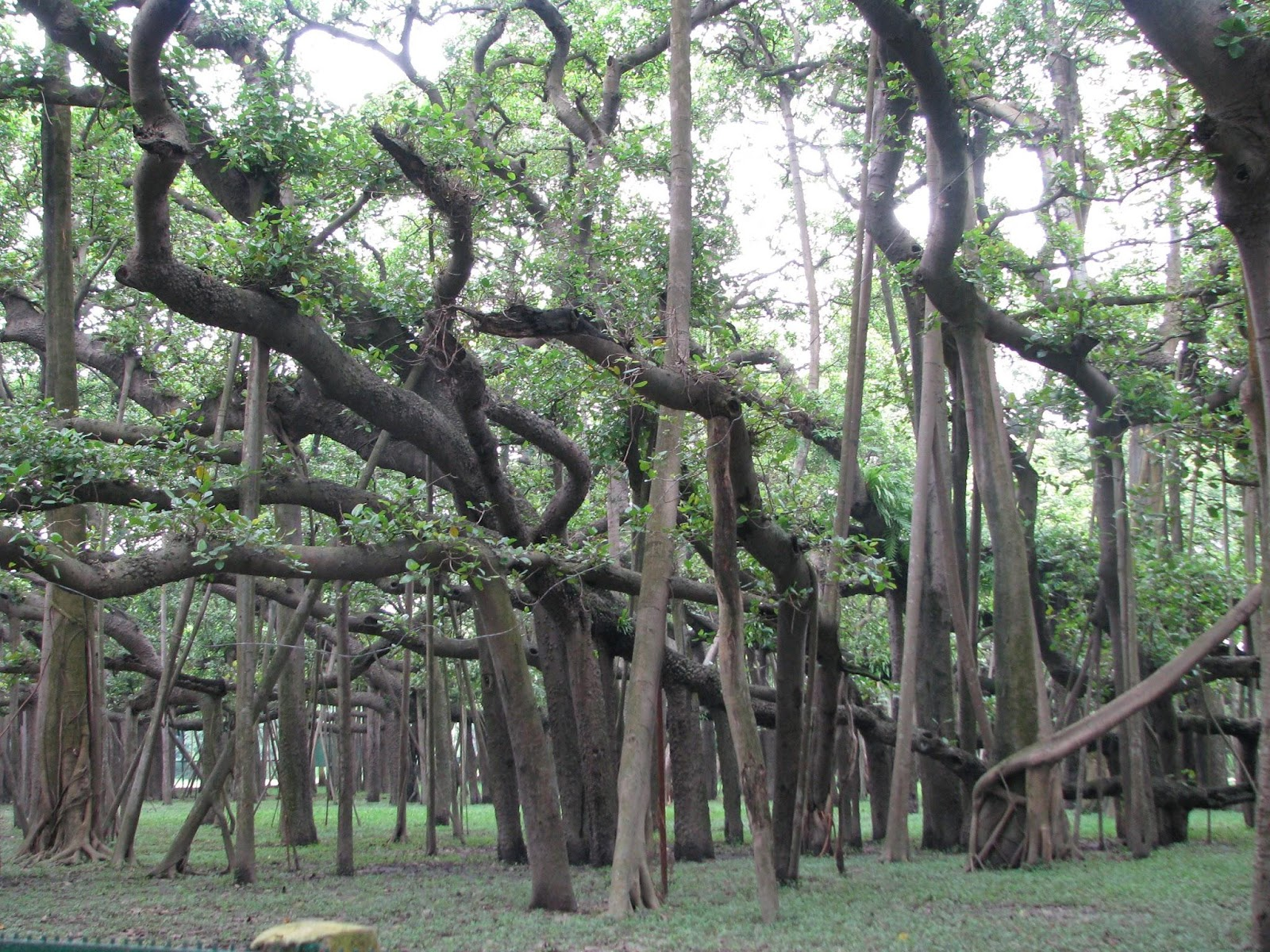 From https://upload.wikimedia.org/wikipedia/commons/9/9f/Great_banyan_tree_kol.jpg This file is licensed under the Creative Commons Attribution 2.0 Generic license.