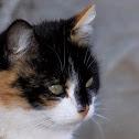 The domestic cat