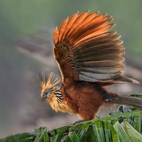 Hoatzin by Phyllis Plotkin - Animals Birds ( bird, nature, ecuador, hoatzin, amazon )